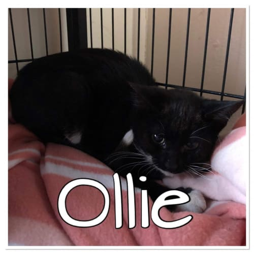 Ollie - Domestic Short Hair Cat
