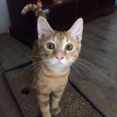 Chester - Domestic Short Hair Cat