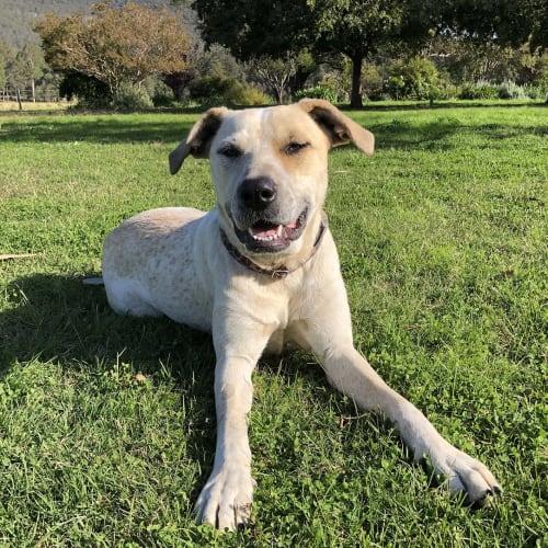 Hazel ~ lovely 12mo Red Cattledog x - Australian Cattle Dog