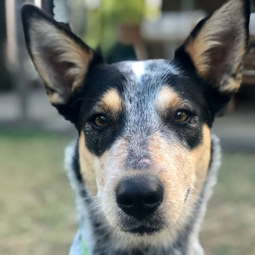 Max - Kelpie x Koolie Dog