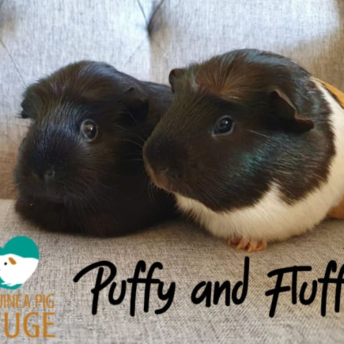 Puffy and Fluffy (unsuitable for kids under 12) - Smooth Hair Guinea Pig