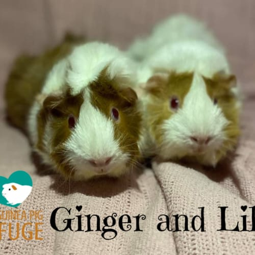 Ginger and Lily (not suitable for kids under 12) - Abyssinian Guinea Pig