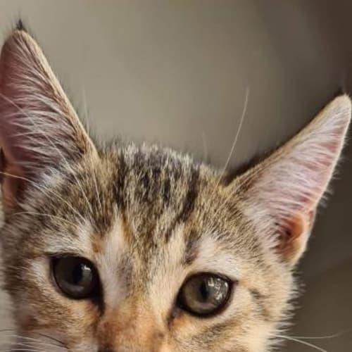Dimple - Domestic Short Hair Cat