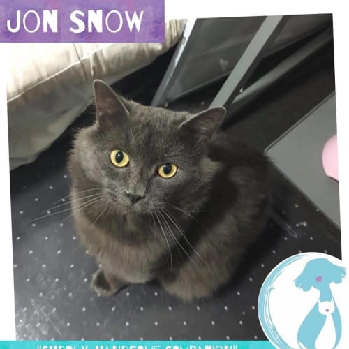 Jon Snow  - Manx x Russian Blue Cat
