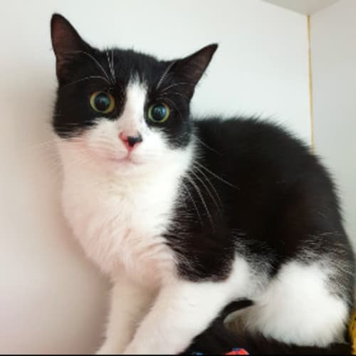 Calliope - Domestic Short Hair Cat