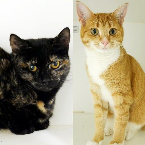Gingerbread SUA005252 & Houso SUK005253  - Domestic Short Hair Cat