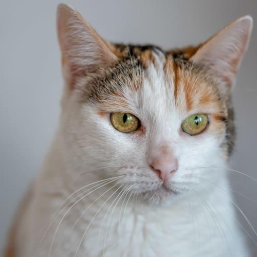 Lee Loo - Domestic Short Hair Cat