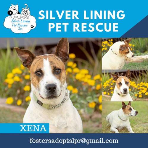 Xena - Bull Terrier Dog