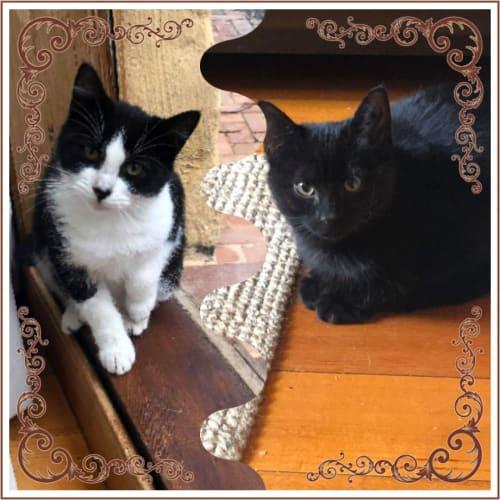 Gabbi & Dominique  ❤❤ - Domestic Short Hair Cat