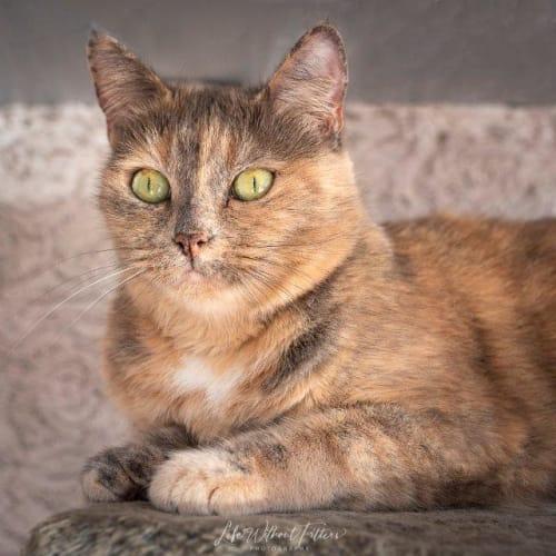 Rhea - Domestic Short Hair Cat