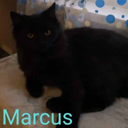 Marcus - Domestic Medium Hair Cat