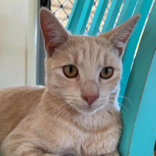 Blinky Bill - Domestic Short Hair Cat