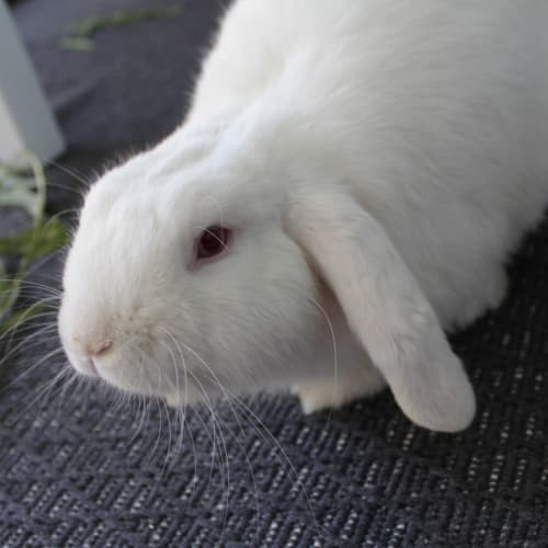 Will - Dwarf lop Rabbit