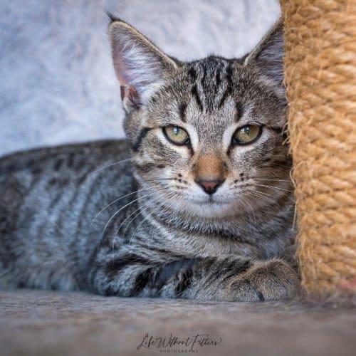 Yanni - Domestic Short Hair Cat