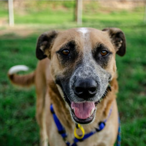 Poncho - Australian Cattle Dog