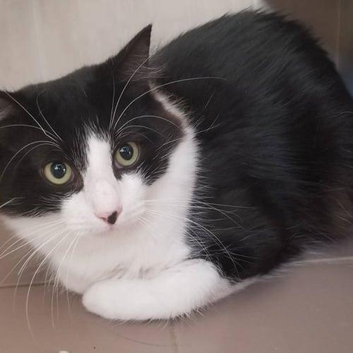 2453 – Phoenix - Domestic Short Hair Cat
