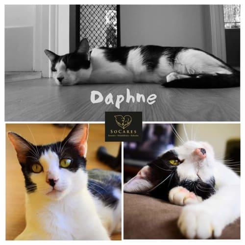 Daphne  - Domestic Short Hair Cat