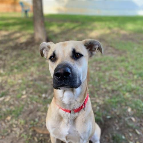 Shelby - Large Mixed Breed Dog