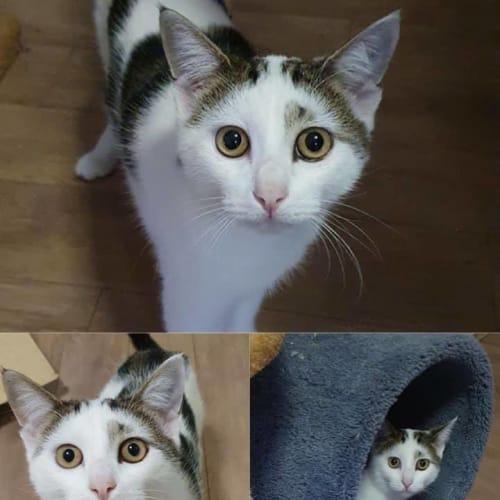 2696 - Banjo - Domestic Short Hair Cat