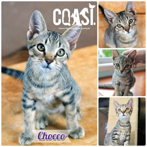 Chocco - Domestic Short Hair Cat