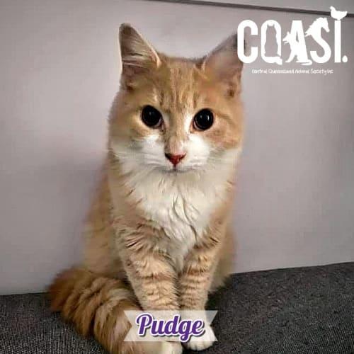 Pudge - Domestic Medium Hair Cat