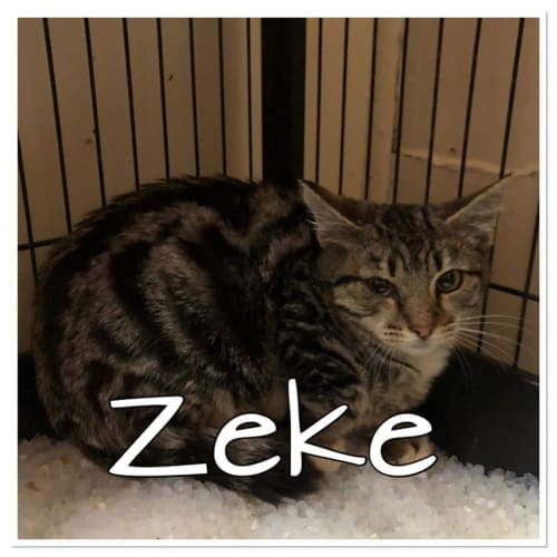 Zeke - Domestic Short Hair Cat
