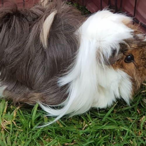 Tyra -  Guinea Pig