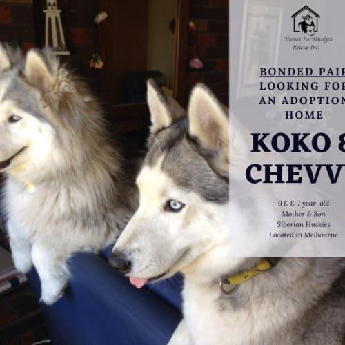 Koko & Chevvy - Siberian Husky Dog