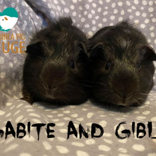 Gabite and Gible (not suitable for children) - Abyssinian x Smooth Hair x Ridgeback Guinea Pig