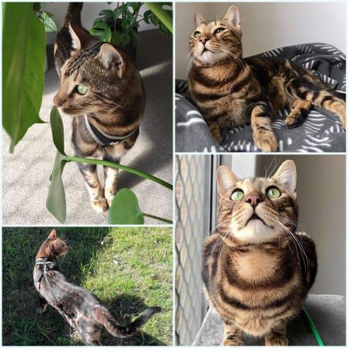 2734 - Leo - Bengal Cat