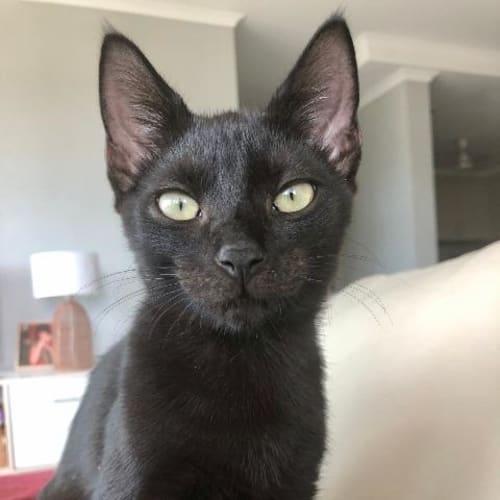 Bop - Domestic Short Hair Cat