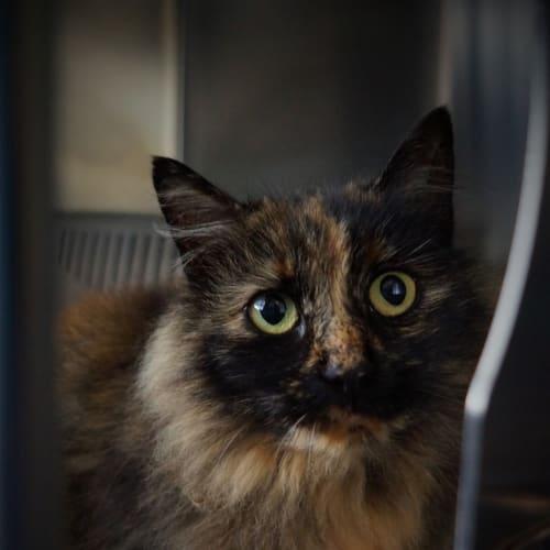 Katie - Domestic Longhair Cat