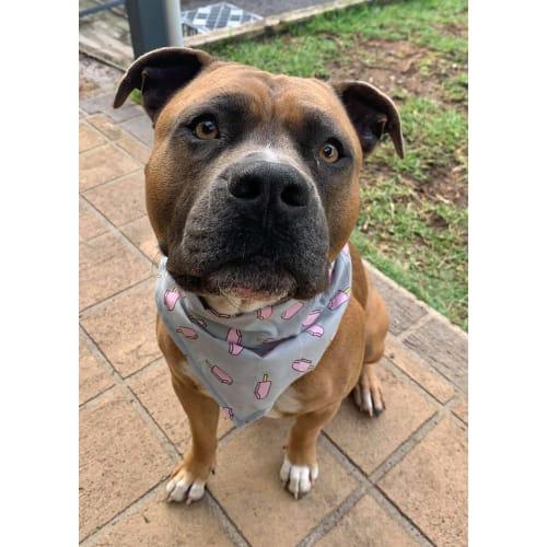 Zeus ~ 2yo Amstaff - American Staffordshire Terrier Dog