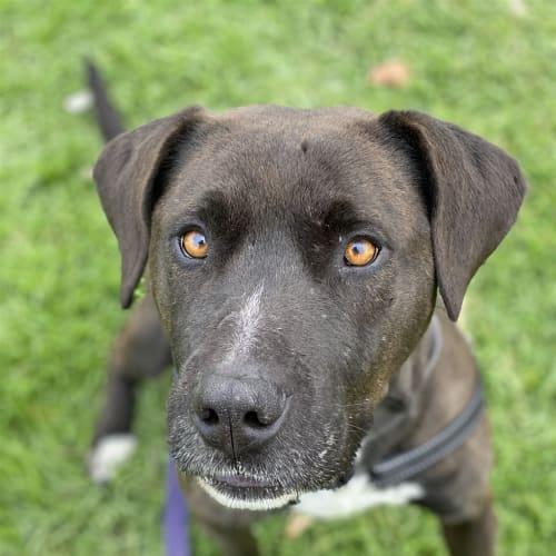 Ceaser - Mastiff X Dog