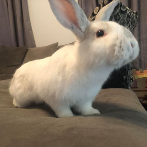 Blue - Domestic Rabbit
