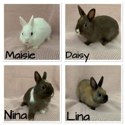 Lina, Nina, Maisie, Daisy - Netherland Dwarf Rabbit