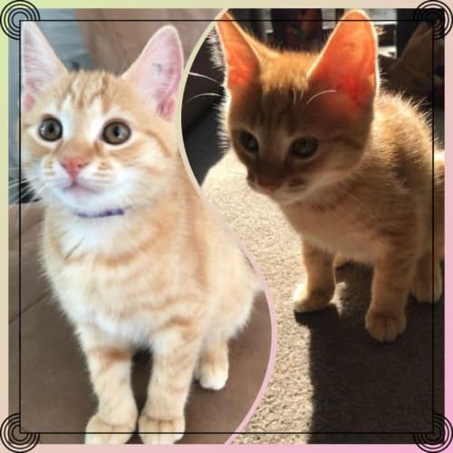 Harper and Henri ❤❤ - Domestic Short Hair Cat
