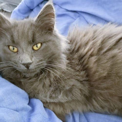 Maximus - Domestic Medium Hair Cat