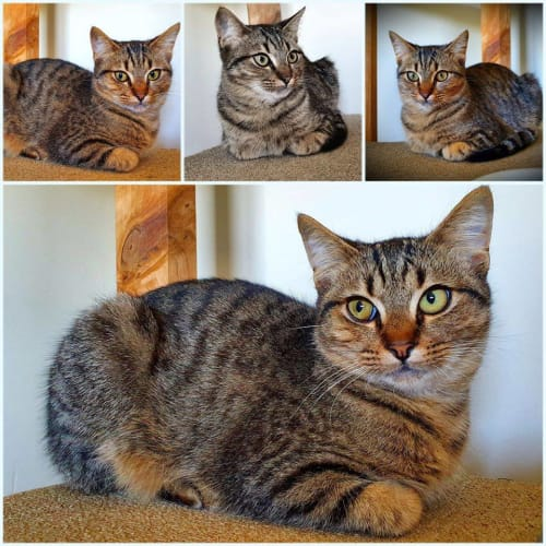 2890 - Peeper - Domestic Short Hair Cat