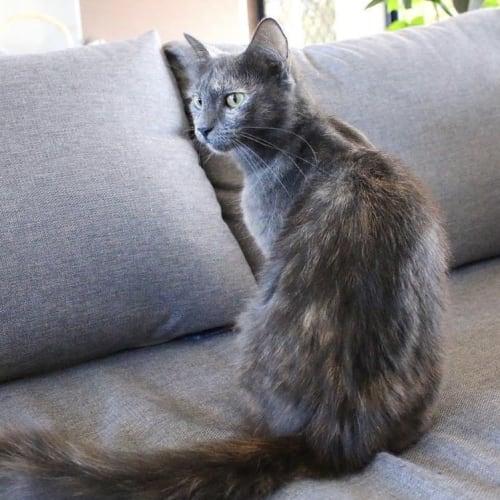 Bella ~ 1 year old cat - Domestic Medium Hair Cat