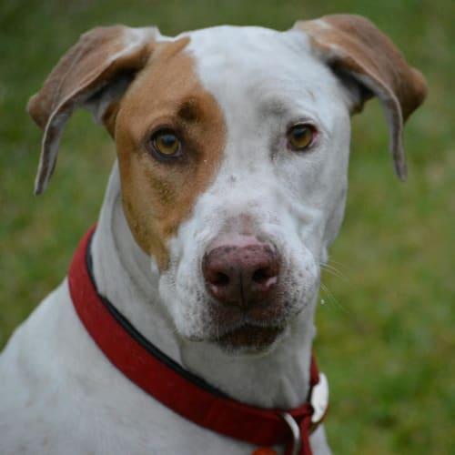 Zeus - Bull Arab Dog