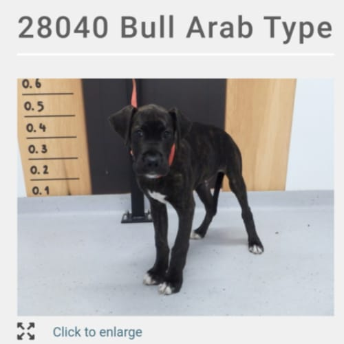 Large Dog Fosters Needed - Bull Arab Dog