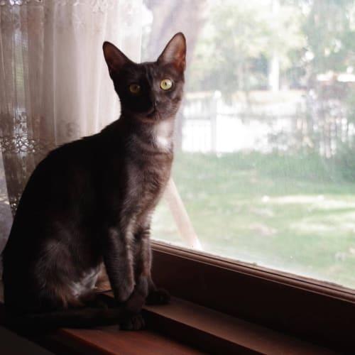 Bo Peep  - Domestic Short Hair Cat