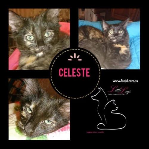 Celeste - Domestic Short Hair Cat
