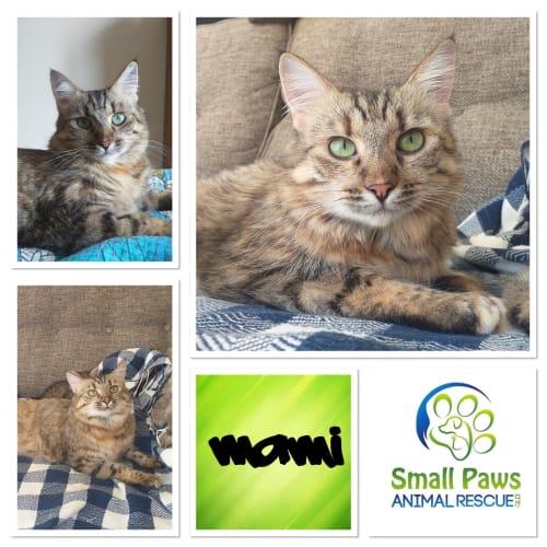 Mami - Domestic Medium Hair Cat
