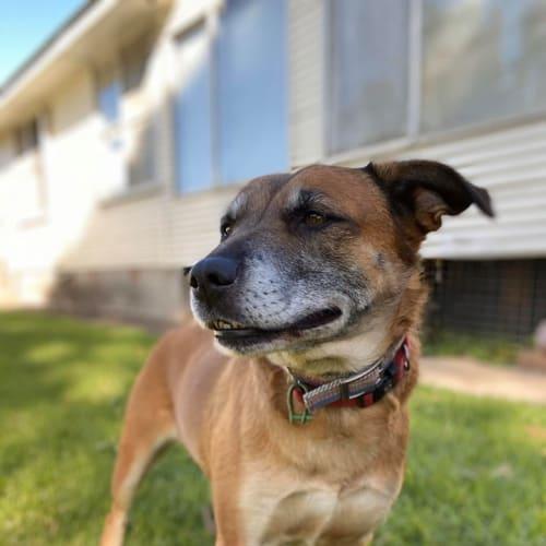 Bay - Staffordshire Bull Terrier Dog