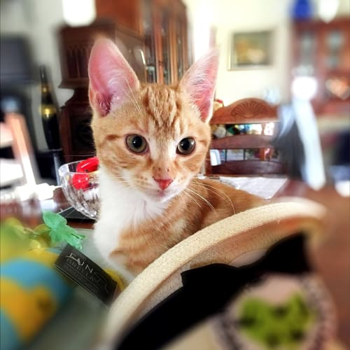 Diego - Domestic Short Hair Cat