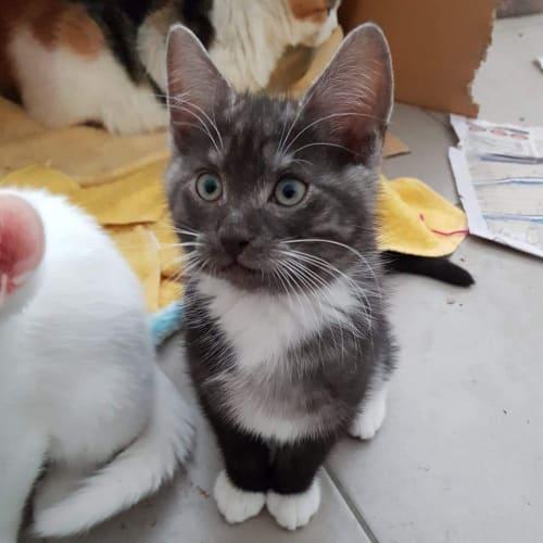 Scout ❤ - Domestic Short Hair Cat