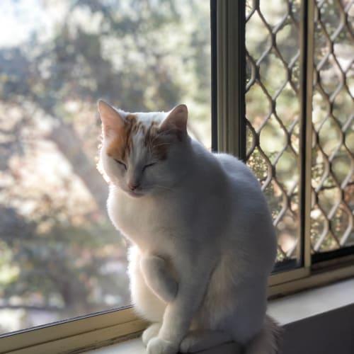 Kovy - Domestic Short Hair Cat