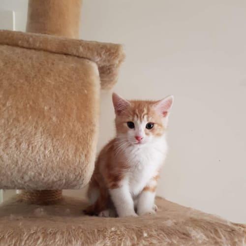 Lenny ❤ - Domestic Short Hair Cat